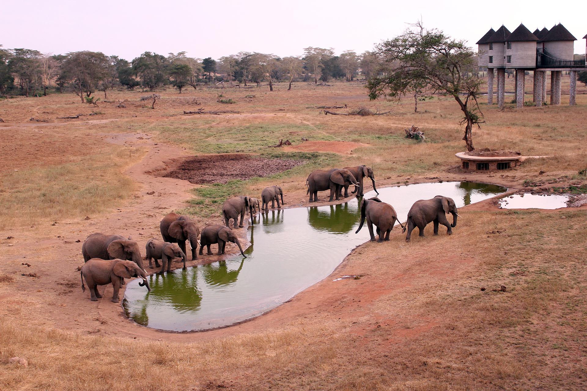 elefanti si abbeverano in una pozza d'acqua in Kenya