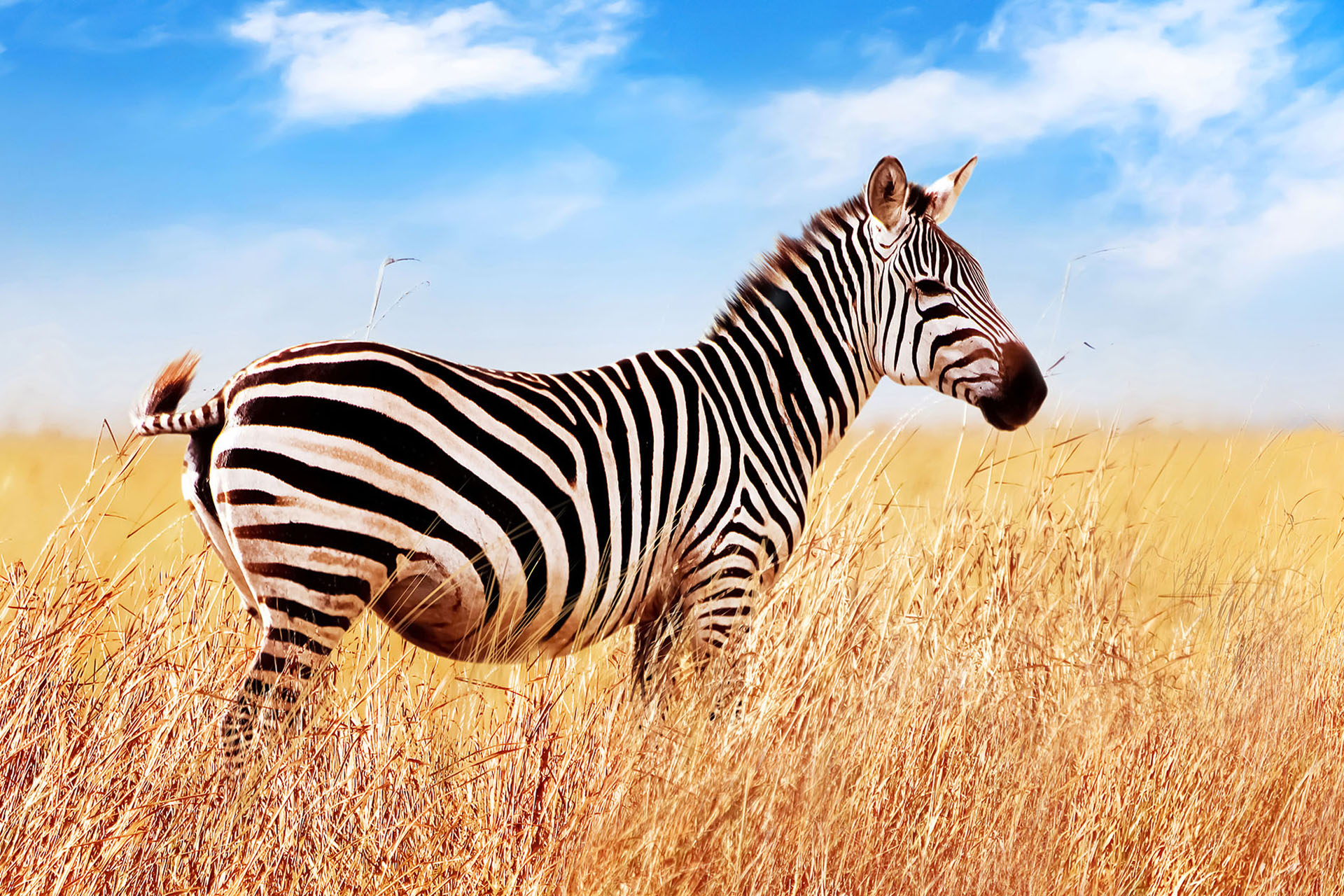 Zebra in the African savannah. Serengeti National Park. Africa. Tanzania. Wide format.